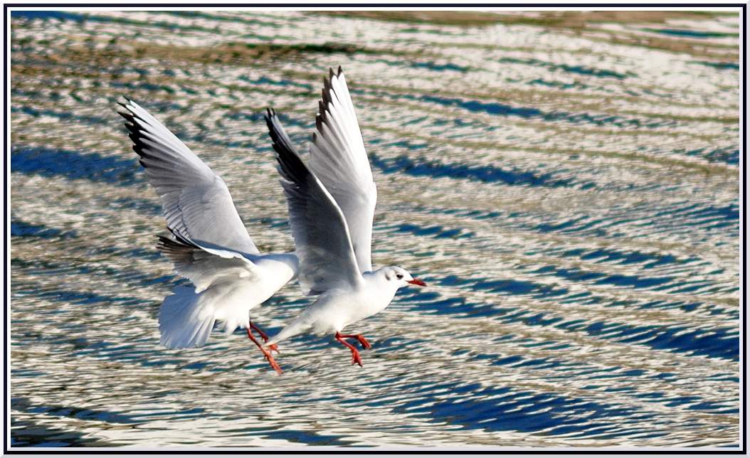 Bagarre mouette rieuse1