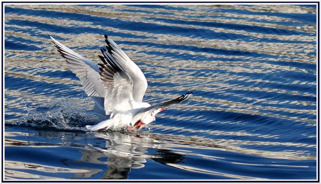 Bagarre mouette rieuse2