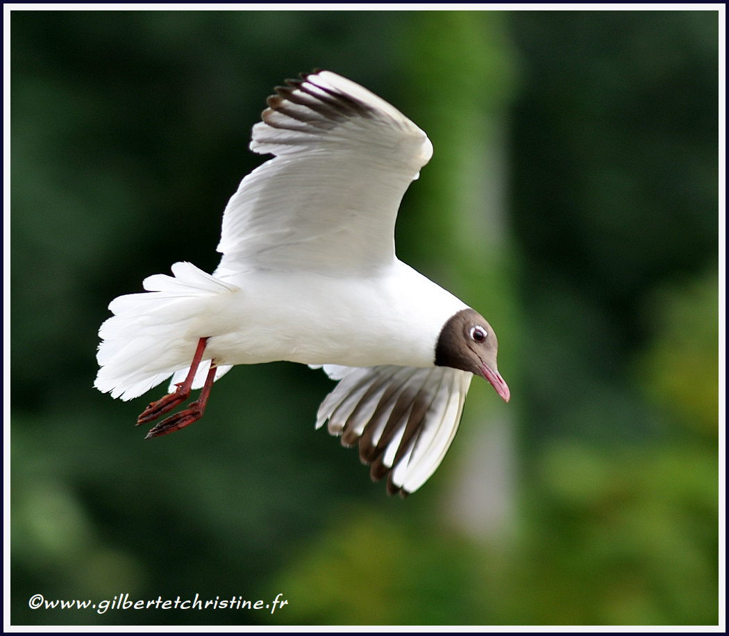 Mouette rieuse3