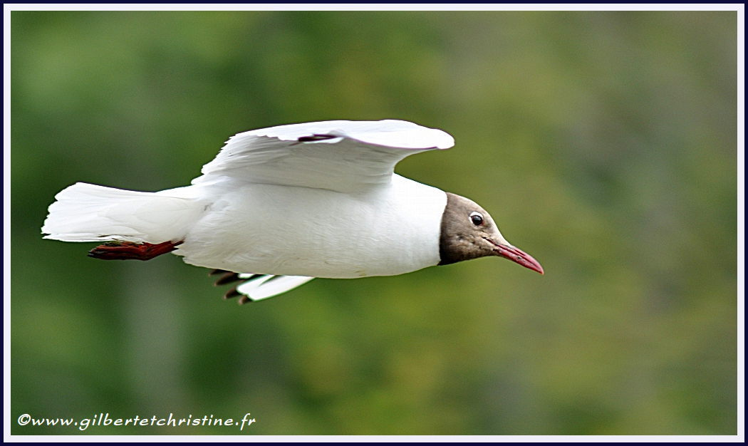 Mouette rieuse 4