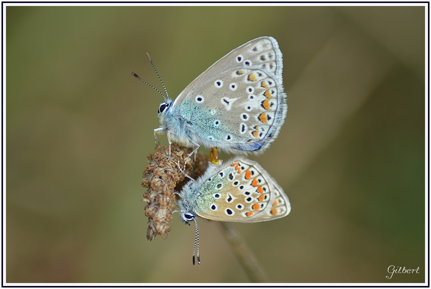 accouplement-papillon-azure1