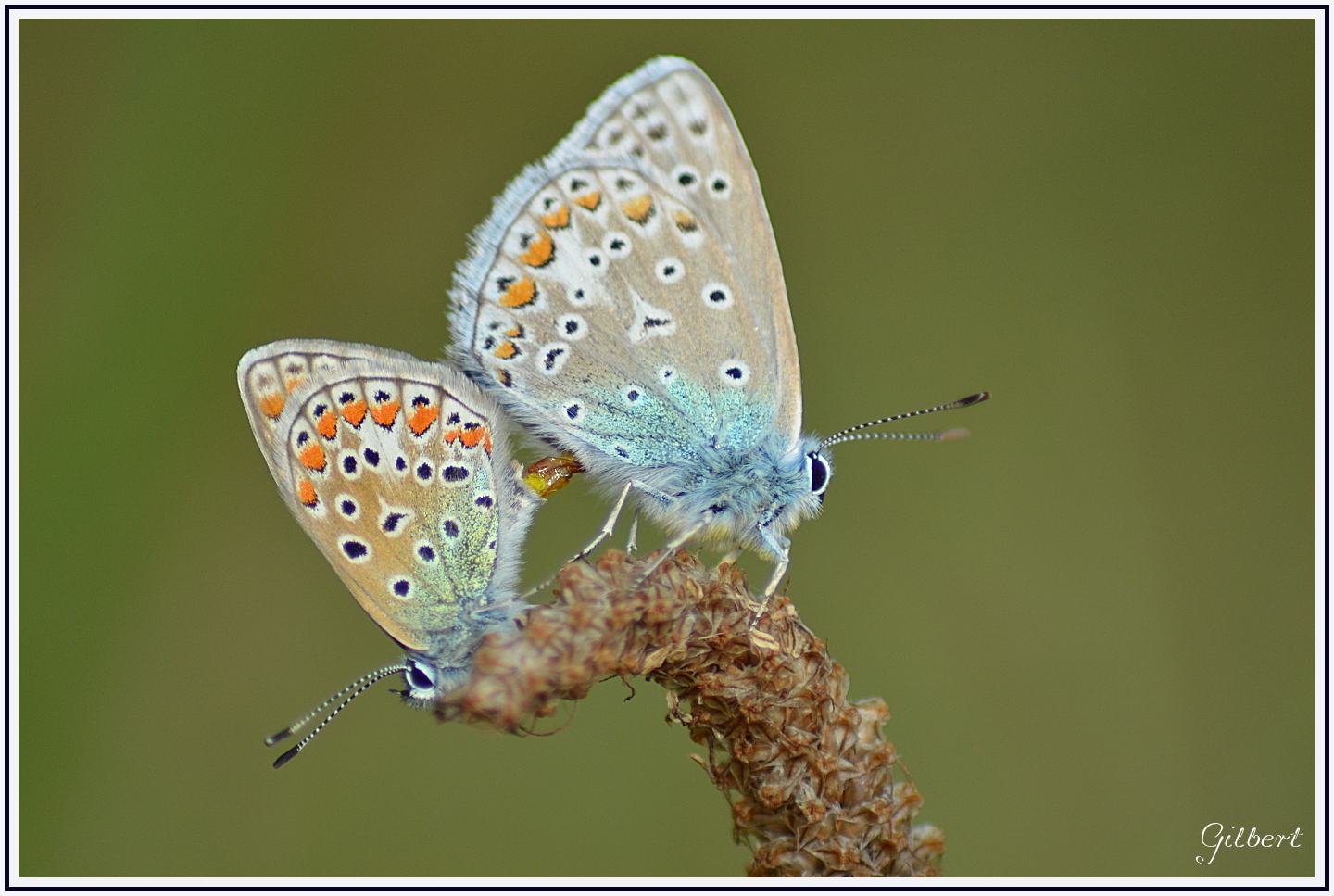 accouplement-papillon-azure2