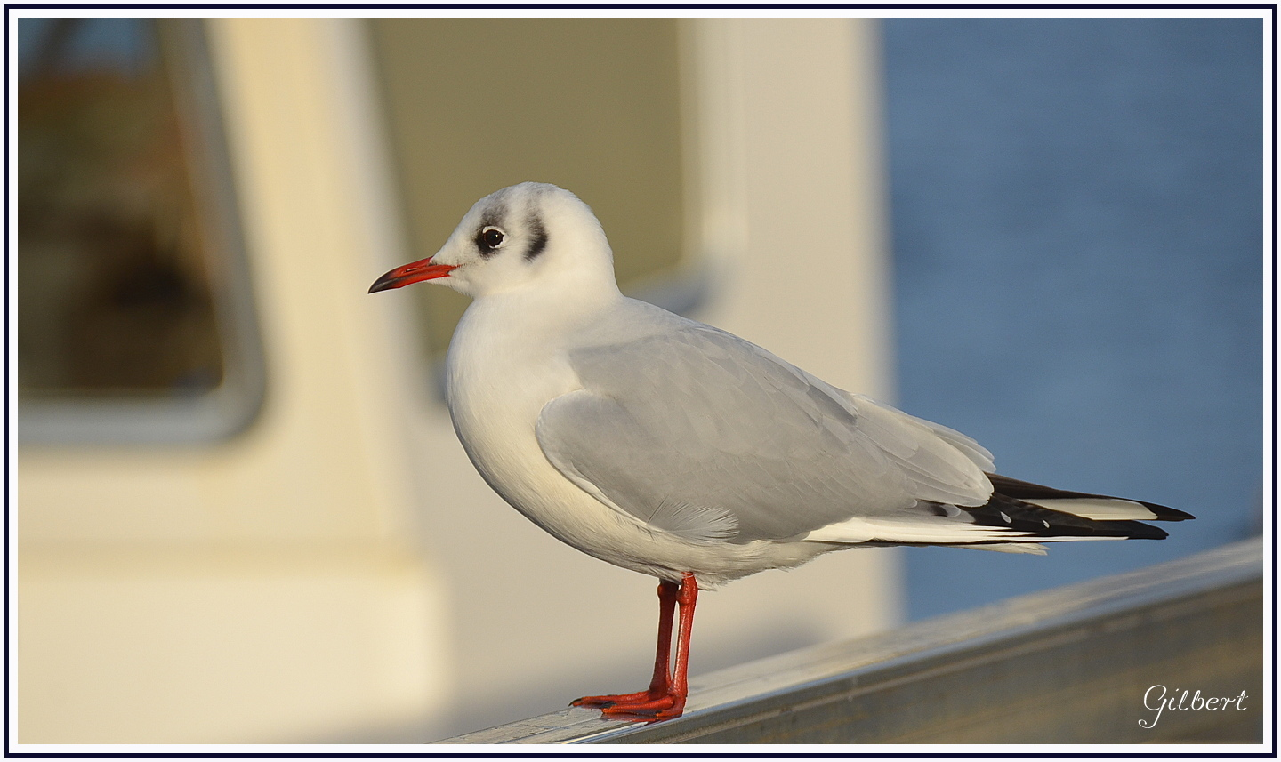 mouette-rieuse1