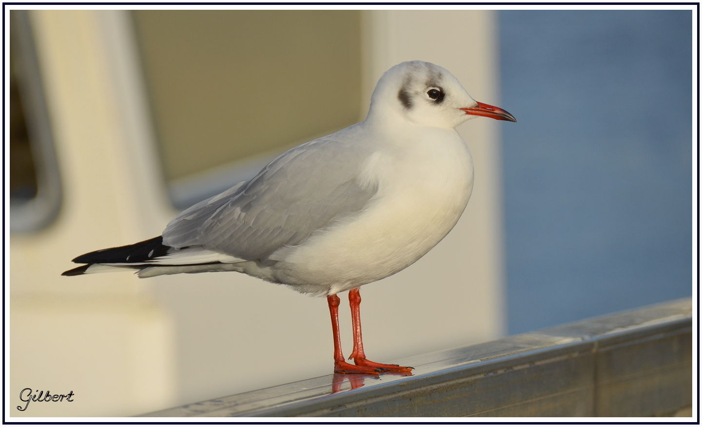 mouette-rieuse2