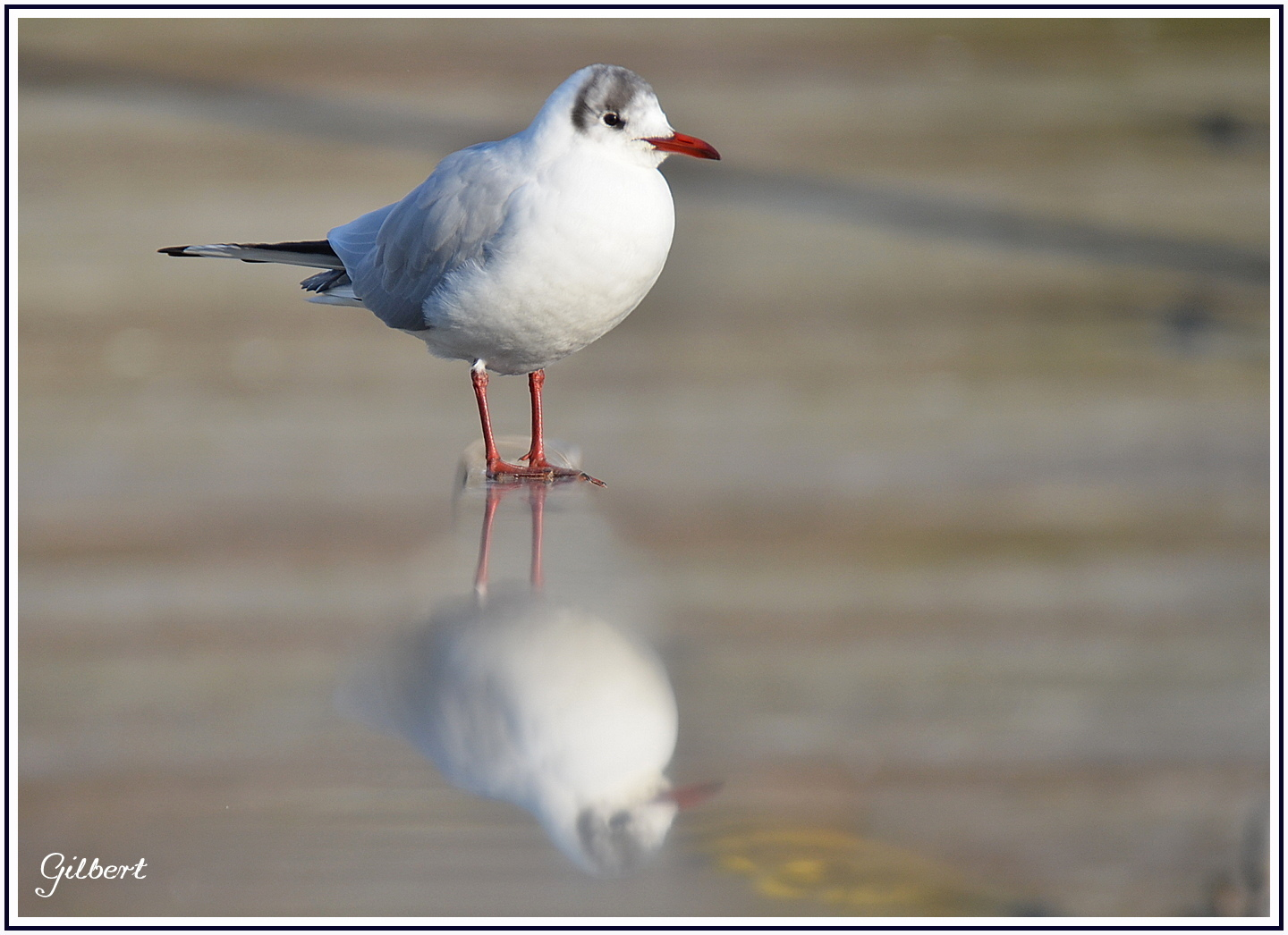 reflet-mouette-rieuse