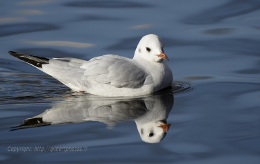 mouette-rieuse4