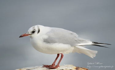 mouette-rieuse5