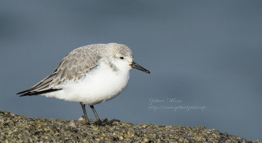 becasseau-sanderling2