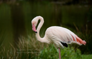 flamant-rose1