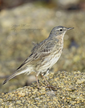 pipit-maritime