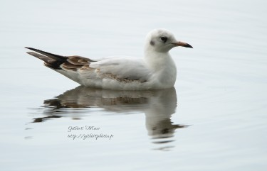 mouette-rieuse6