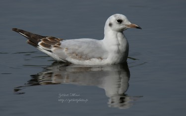 mouette-rieuse7