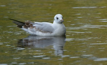 mouette-rieuse8