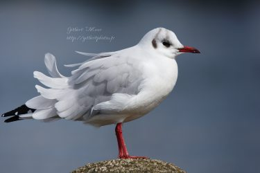 mouette-rieuse9